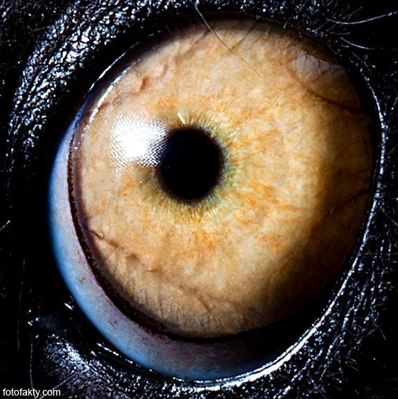 Глаз кольцехвостого лемура (кошачего лемура)