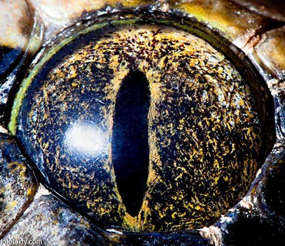 Глаз тигрового питона