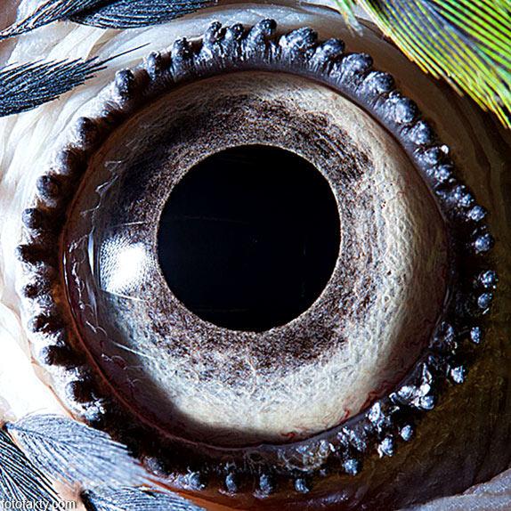 Глаз сине-жёлтого попугая ара