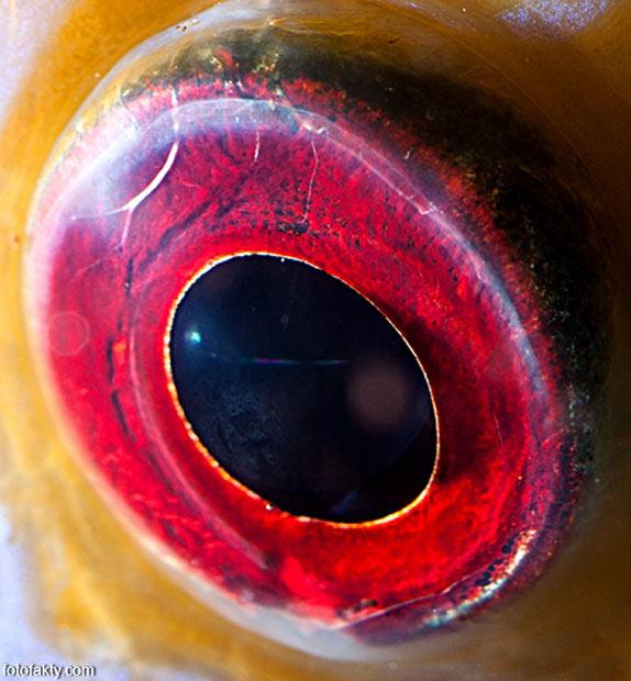 Глаз рыбы дискус