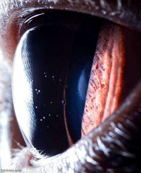 Глаз британской короткошерстной кошки