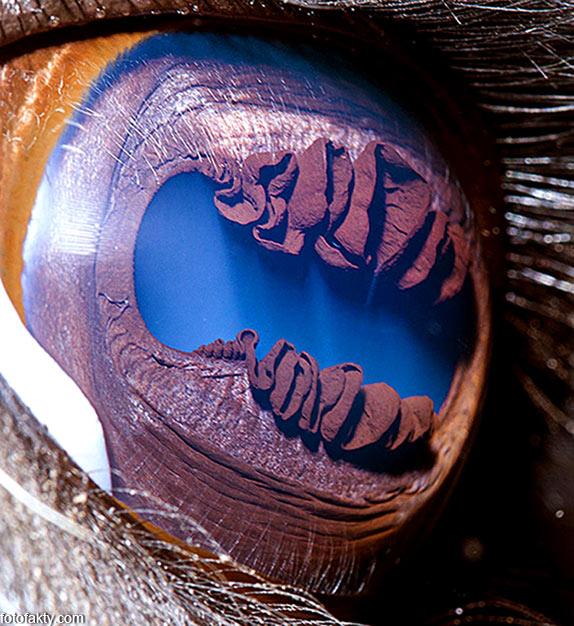 Глаз ламы