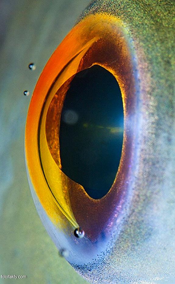 Глаз рыбы