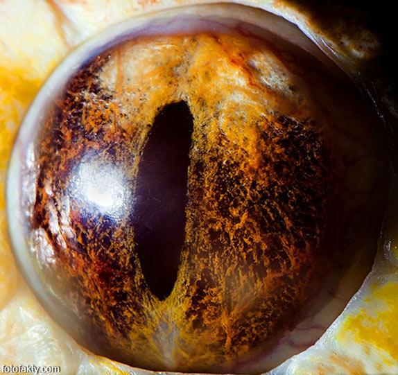Глаз тигрового питона альбиноса