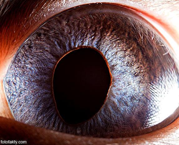 Глаз сиамского кота