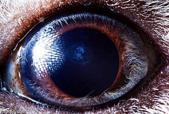 Глаз морской свинки
