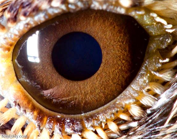 Глаз жаворонка