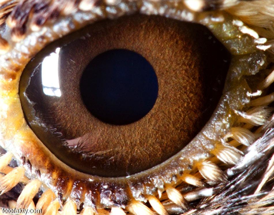 лемур фото глаза
