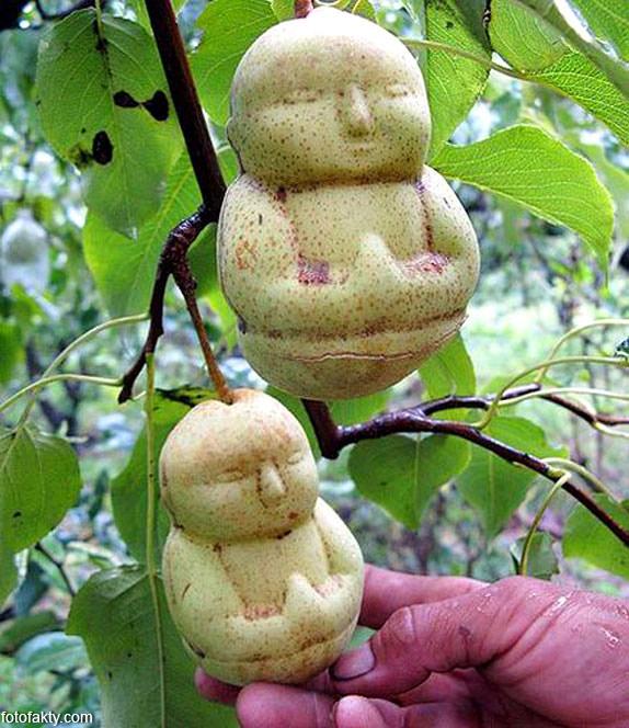 Странные груши в форме Будды Фото 3