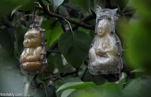 Странные груши в форме Будды Фото 5