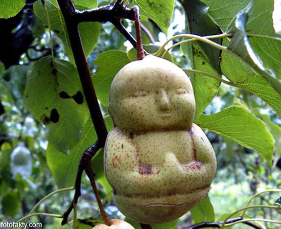 Странные груши в форме Будды Фото 9