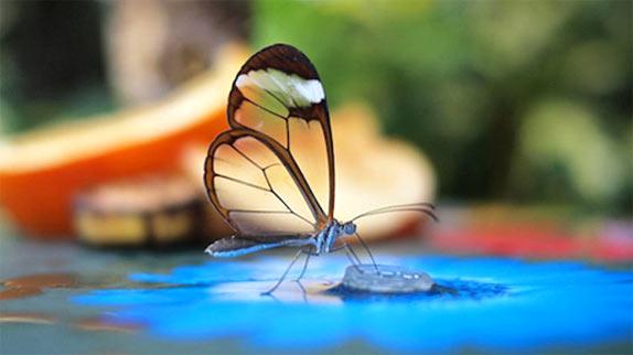 Красивые фотографии прозрачной бабочки