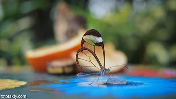 Стеклянная бабочка - Greta oto Фото 1