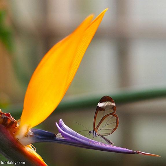 Стеклянная бабочка - Greta oto Фото 2