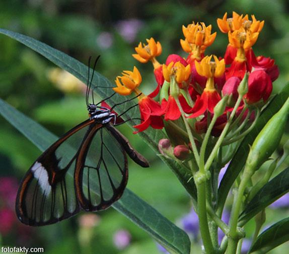 Стеклянная бабочка - Greta oto Фото 3