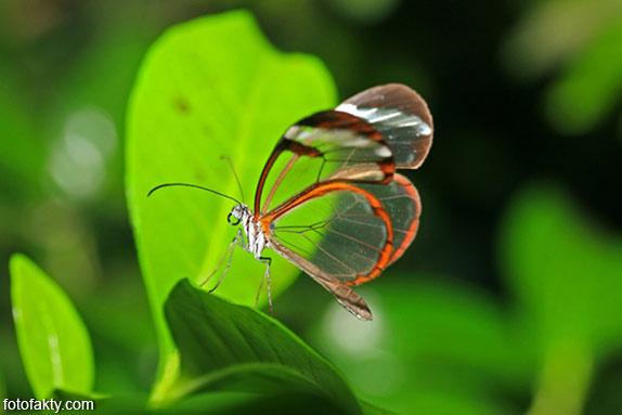 Стеклянная бабочка - Greta oto Фото 4