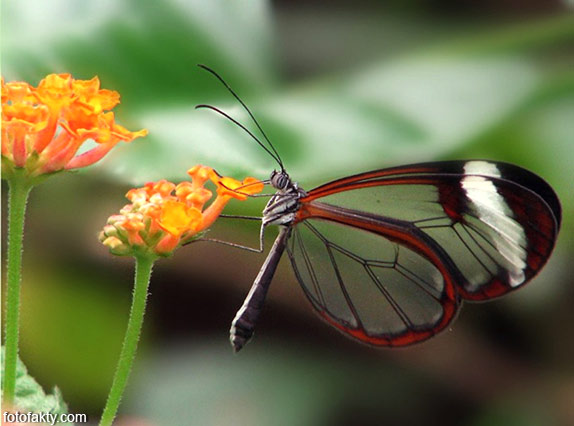 Стеклянная бабочка - Greta oto Фото 5