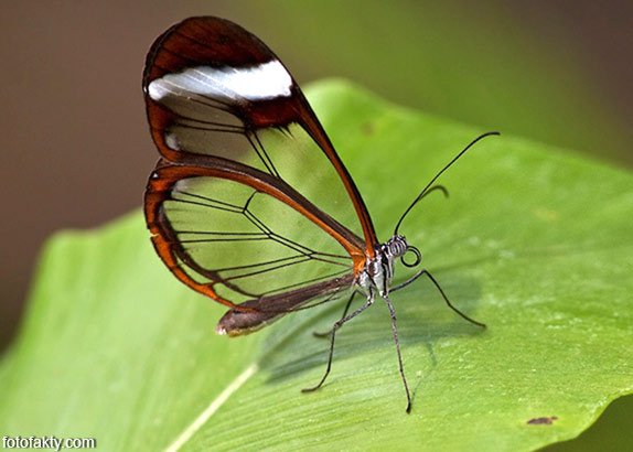 Стеклянная бабочка - Greta oto Фото 6