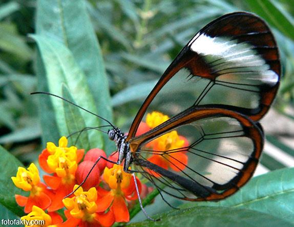 Стеклянная бабочка - Greta oto Фото 7