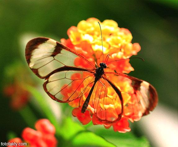 Стеклянная бабочка - Greta oto Фото 8
