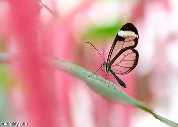 Стеклянная бабочка - Greta oto Фото 9