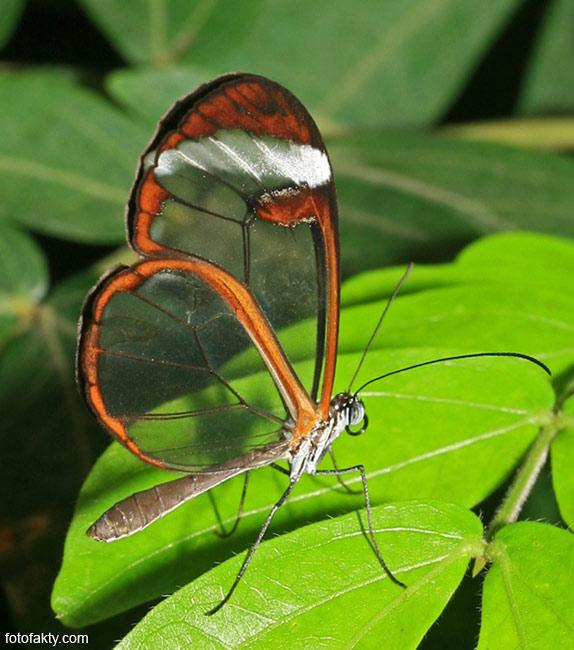 Стеклянная бабочка - Greta oto Фото 10