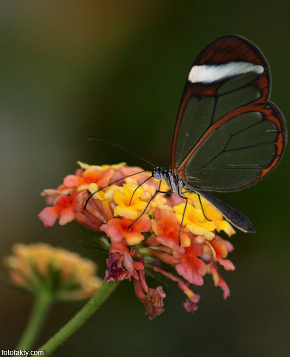 Стеклянная бабочка - Greta oto Фото 11