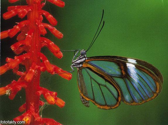 Стеклянная бабочка - Greta oto Фото 12