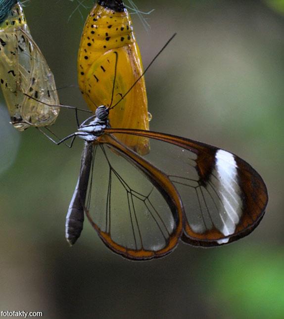 Стеклянная бабочка - Greta oto Фото 13