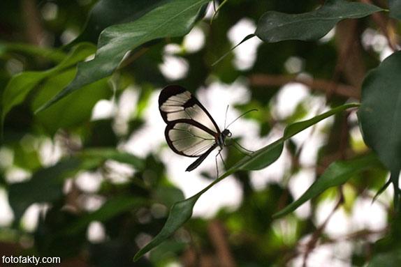 Стеклянная бабочка - Greta oto Фото 15