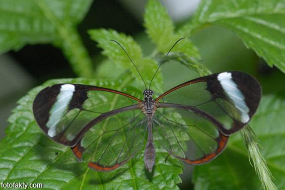 Стеклянная бабочка - Greta oto Фото 14