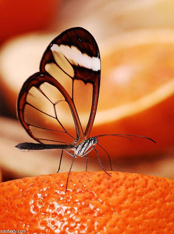 Стеклянная бабочка - Greta oto Фото 16