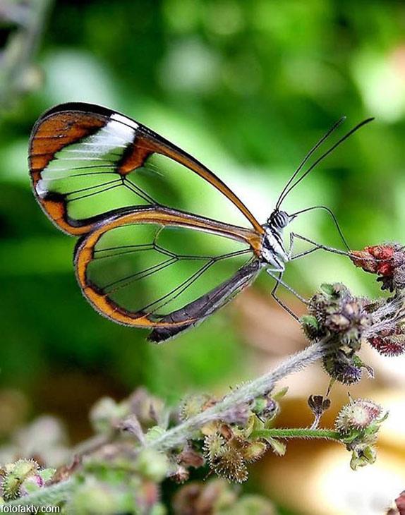 Стеклянная бабочка - Greta oto Фото 20
