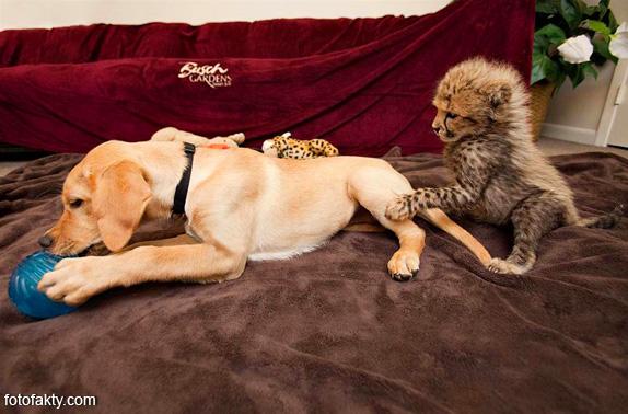 Необычная дружба гепардов и собак Фото 1