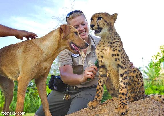 Необычная дружба гепардов и собак Фото 2