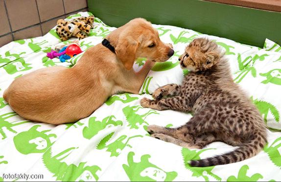 Необычная дружба гепардов и собак Фото 3