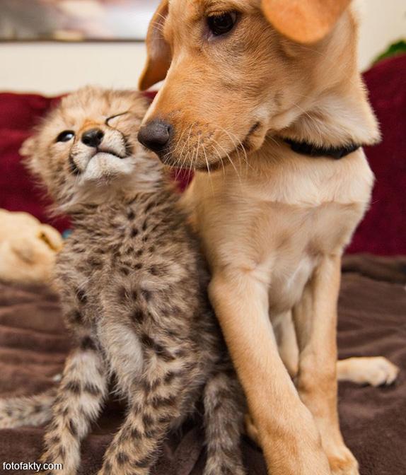 Необычная дружба гепардов и собак Фото 4