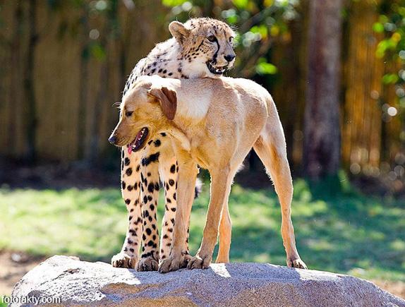 Необычная дружба гепардов и собак Фото 5