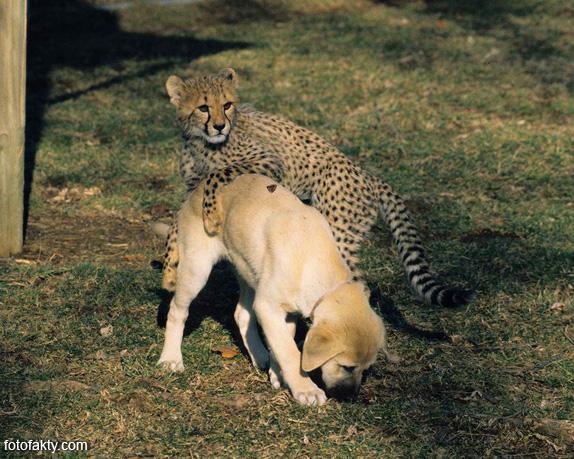 Необычная дружба гепардов и собак Фото 6