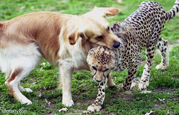 Необычная дружба гепардов и собак Фото 8