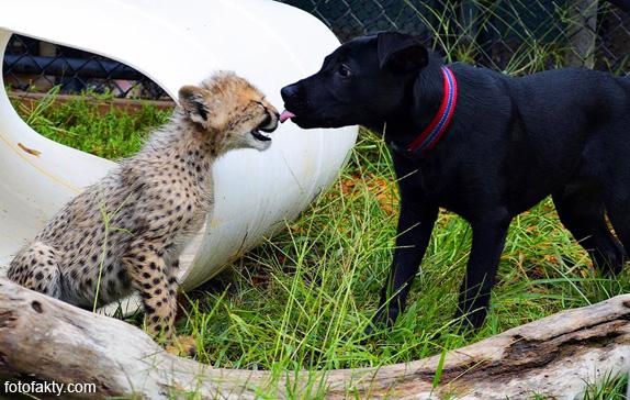 Необычная дружба гепардов и собак Фото 9