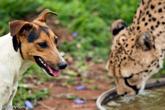 Необычная дружба гепардов и собак Фото 10