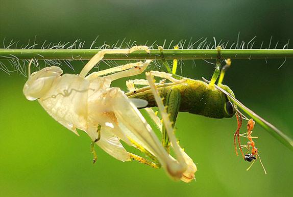Удивительнишее шоу природы - процес линьки кузнечика