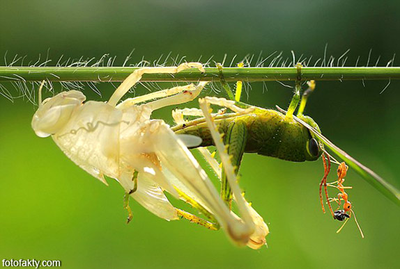 Удивительнишее шоу природы - процес линьки кузнечика Фото 5
