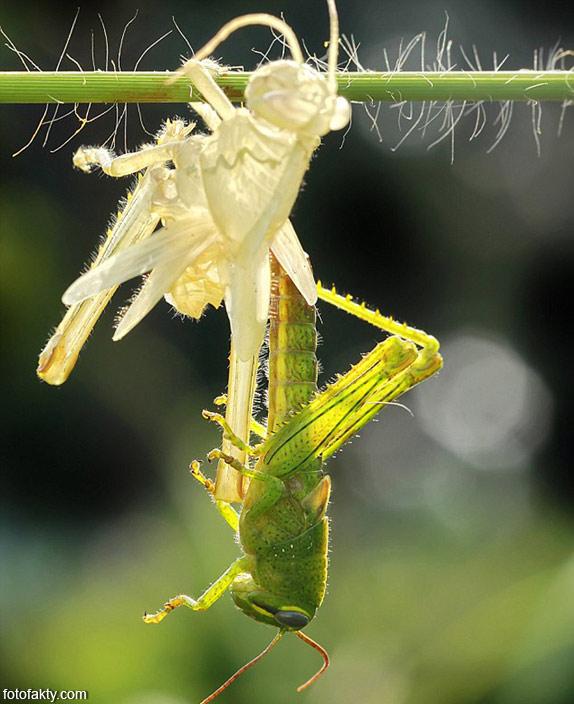 Удивительнишее шоу природы - процес линьки кузнечика Фото 1