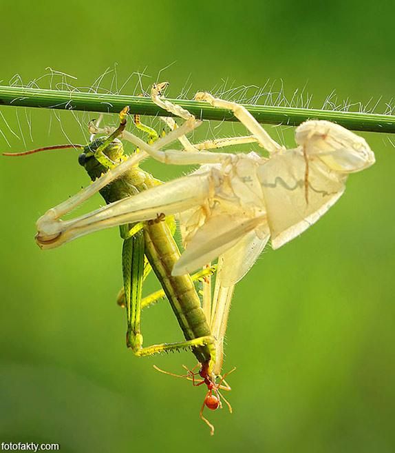 Удивительнишее шоу природы - процес линьки кузнечика Фото 2