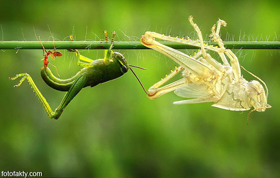 Удивительнишее шоу природы - процес линьки кузнечика Фото 3