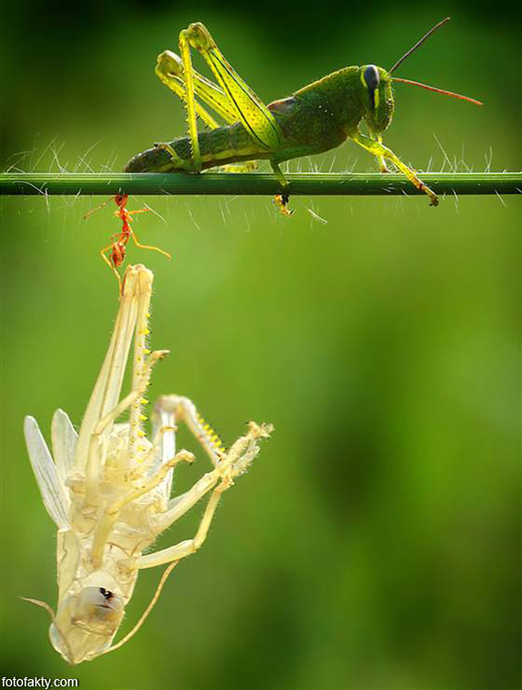 Удивительнишее шоу природы - процес линьки кузнечика Фото 4