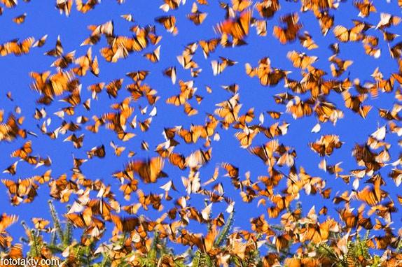 Миграция бабочек Фото 1