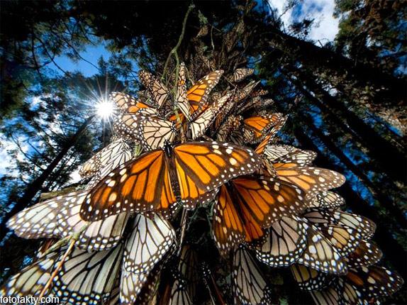 Миграция бабочек Фото 2